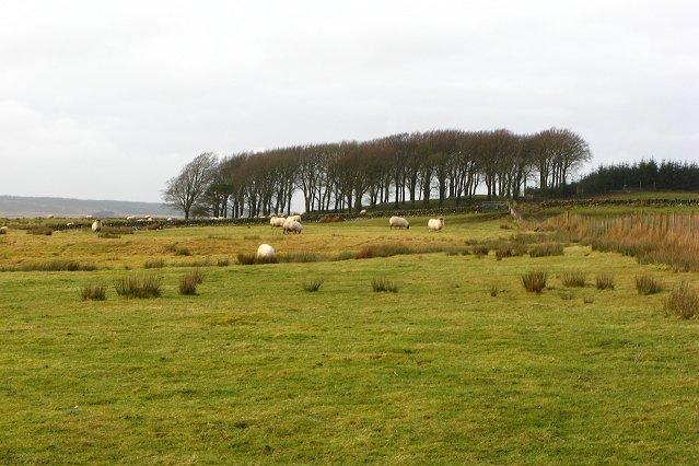 Sheep grazing near Tarbrax
