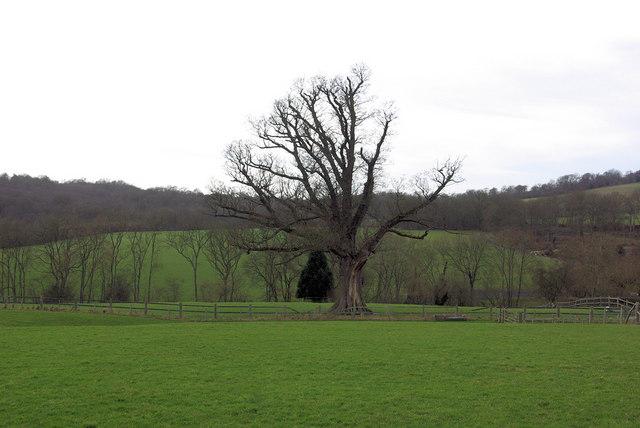 Tree near Sandhurst Farm