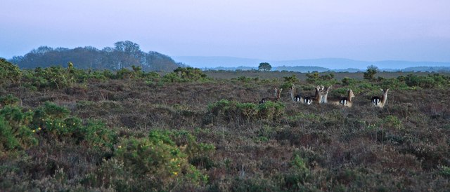 Roe Deer New Forest 2