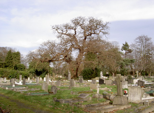 Oak Tree looking over Grave Stones.