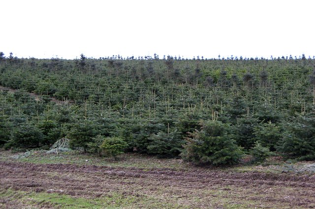 Christmas trees, Elsrickle
