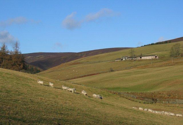 Sheep, Glenuig