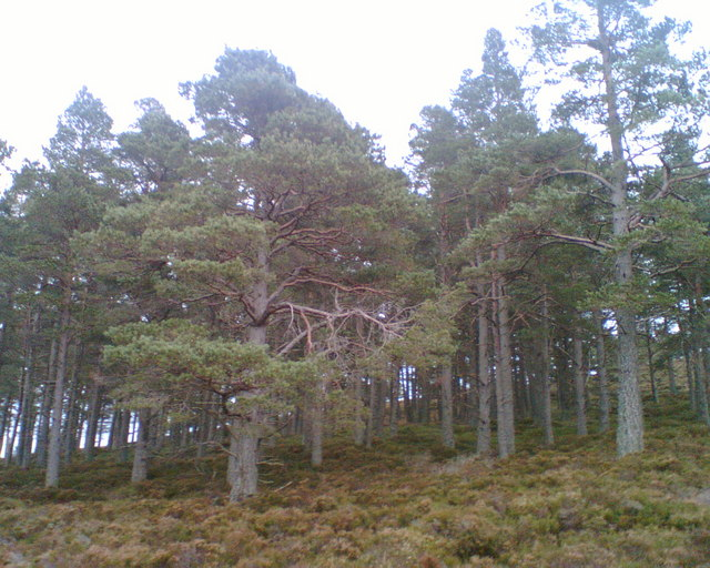 Native Scots Pine