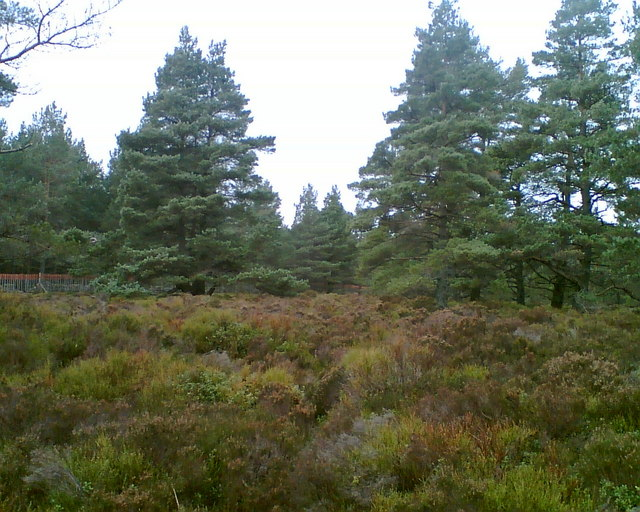 Native Scots Pine