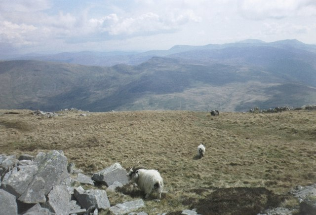 Goats on the slopes of Foel Goch