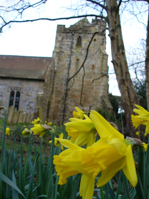 Daffodil in Sedlescombe Churchyard