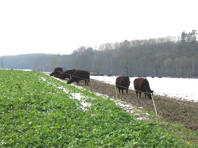 Cows on Shepherd's Bank