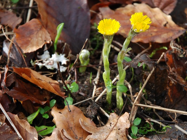 Early coltsfoot flowers