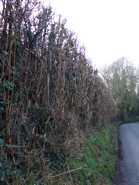 Hedge on Stream Lane