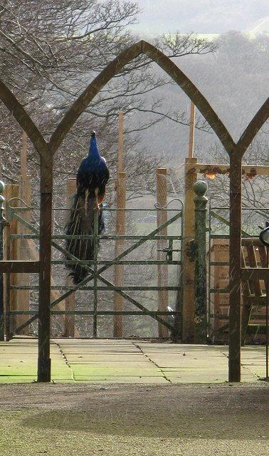 Peacock, The Binns