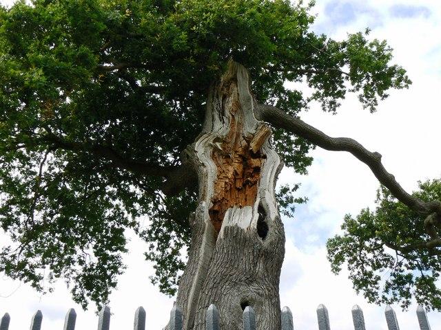 Royal Oak, Boscobel House, Bishops Wood