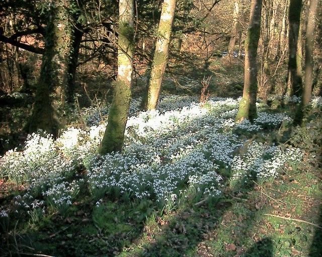 Snowdrops beside Afon Dwyfor