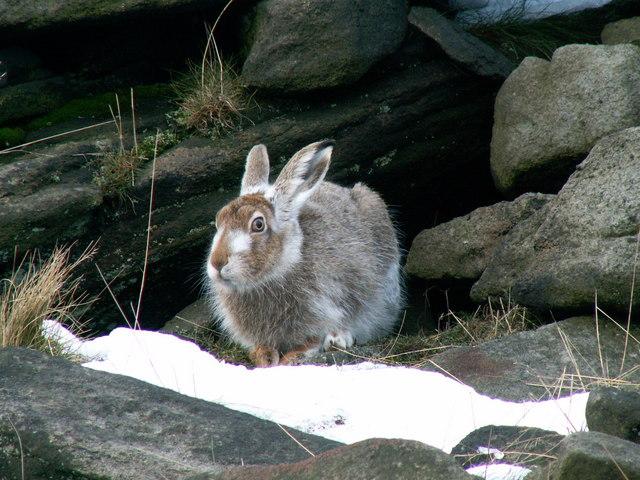 Peak District mountain hare on Yellow Slacks