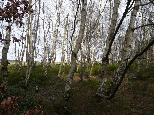 Bottom Moor - Silver Birch and Heather