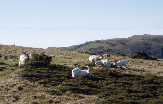 Great Orme's goats