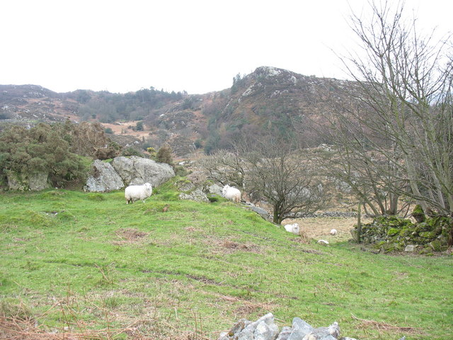 Sheep on the lower Clegyr