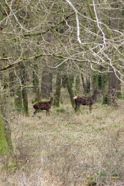 Deer in Burley New Inclosure, New Forest