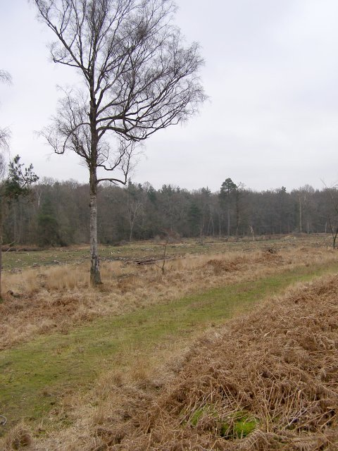 Cleared area in Dames Slough Inclosure, New Forest