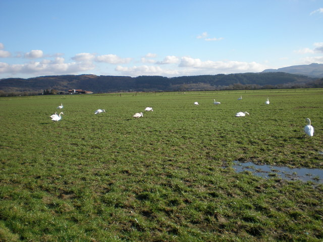 Swans grazing near Llanfrothen.