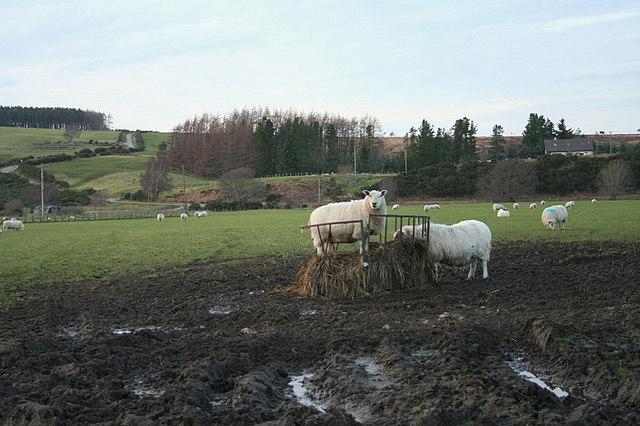 Sheep in a field by Craigroy Farm.