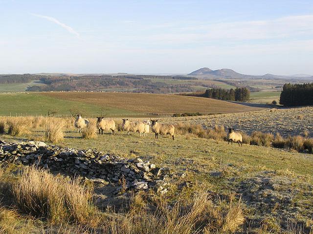 Sheep near Satchels Farm