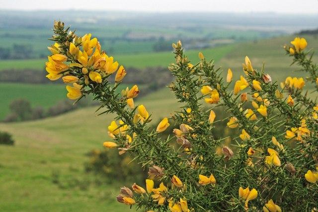 Gorse flowering on Pentridge Hill 2
