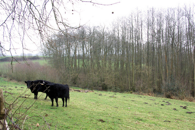 Cattle and Moles in a Field