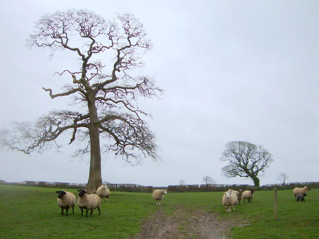 Fields of Sheep and Trees