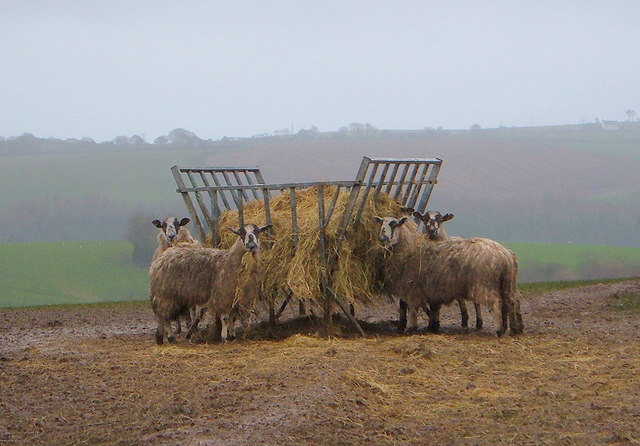 Sheep having their dinner