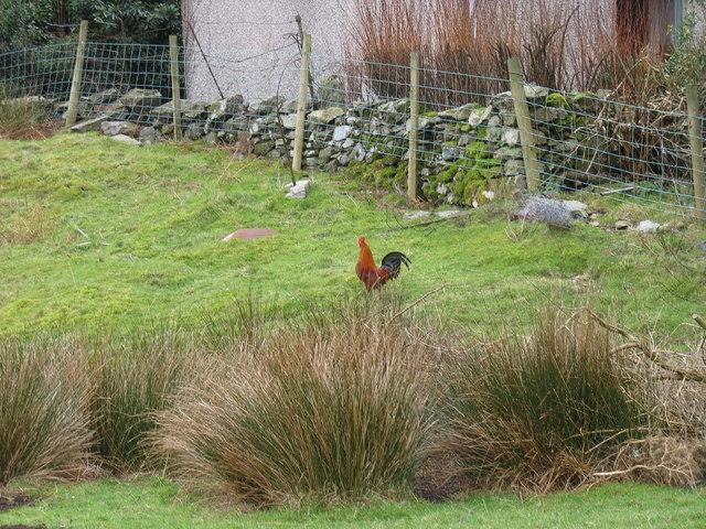 Ceiliog/Rooster at Rhianfa