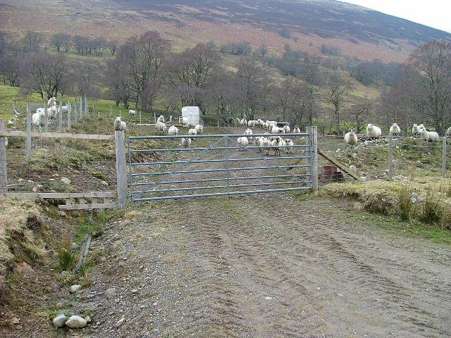 Sheep Fank at Bohuntine