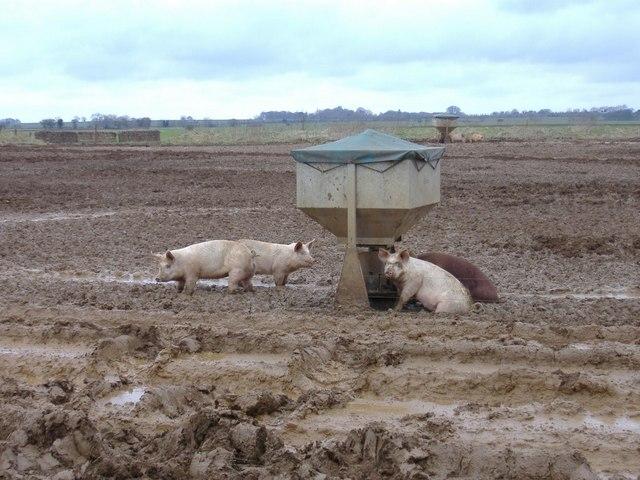 Pig feeder