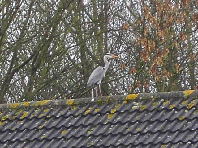 A heron on a roof, Swindon