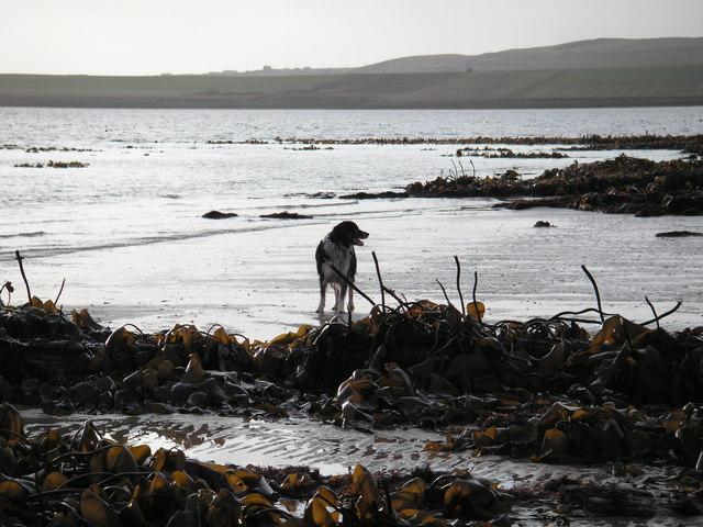 Kelp at low tide