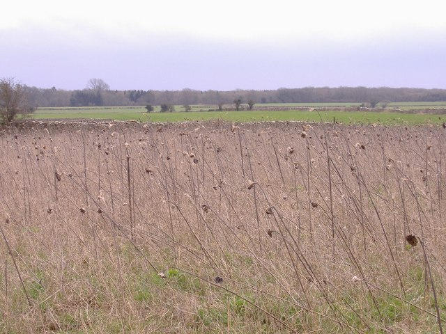 Sunflower seed heads