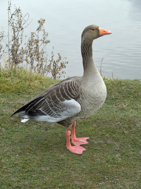 Greylag Goose, Waters' Edge Park