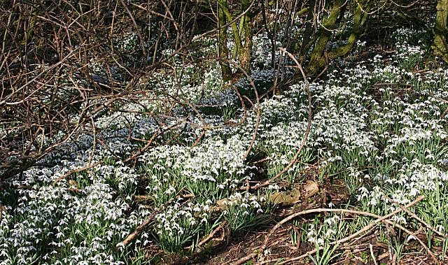 Snowdrops (Galanthus nivalis)