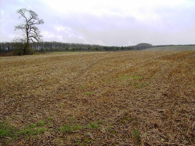 Ash tree in field, Wick Down, Wiltshire