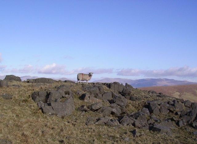 Sheep, Yoadcastle