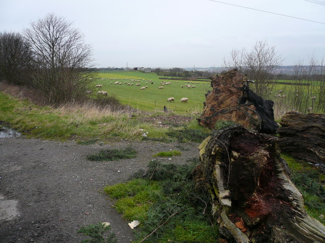 Black Sheep in the Middle - (Owlcotes in the background)