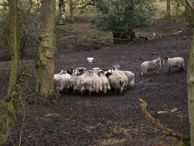 Sheep feeding station