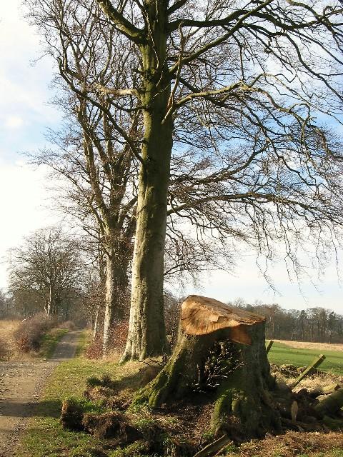 Beech trees near Currie