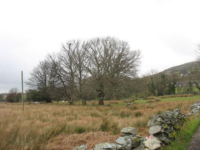 A line of trees near Rhianfa