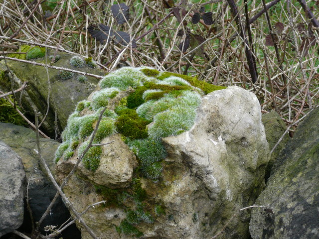 Mosses and Lichen on a Dry Stone Wall