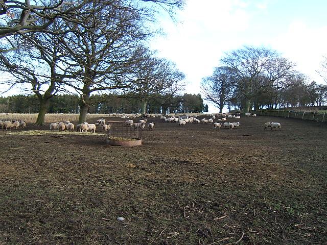 Sheep at Dunleyford Crossroads.