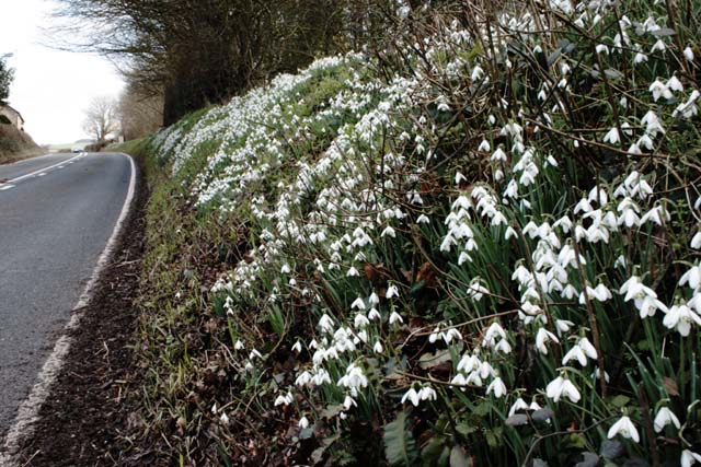 Wild Snowdrops on the A377