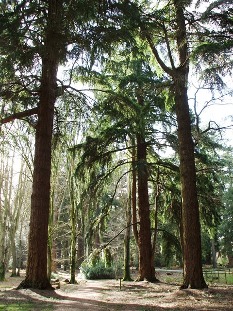 Firs in Rhinefield Ornamental Drive © Gillian Thomas ...