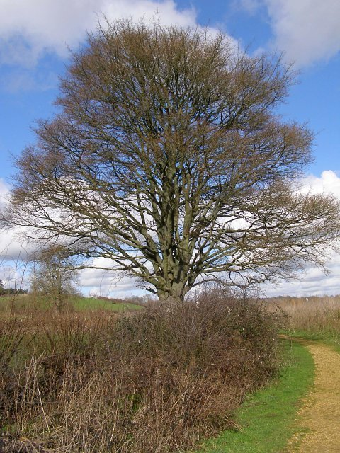 Hedgerow oaks, Testwood Lakes nature reserve