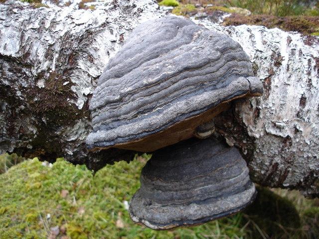 Fungus on birch