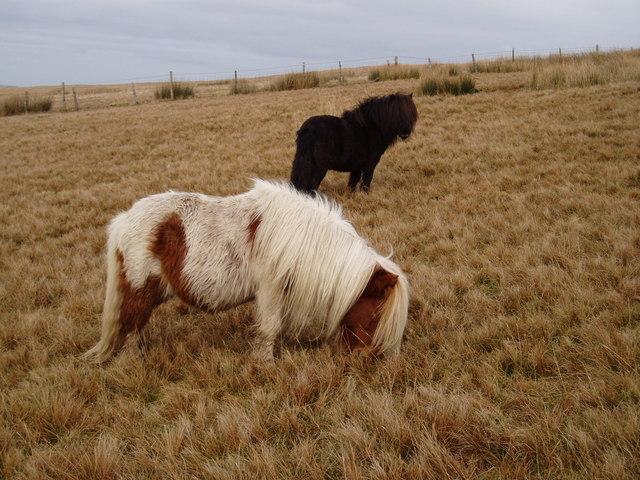 Grazing ponies on Hindlethwaite Moor